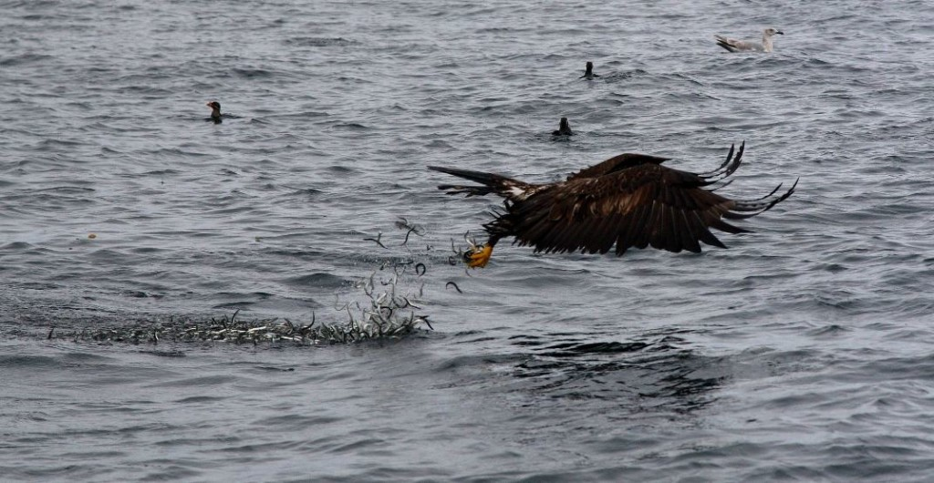 An eagle doing some fishing