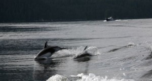 Dolphins following our fishing boat
